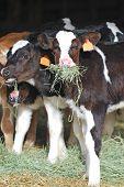 image of dairy barn  - Holstein dairy calves in a barn eating fresh hay - JPG