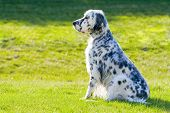 pic of english setter  - Beautifully groomed English Setter with grass on the background - JPG