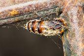 foto of chrysalis  - Hairy chrysalis of moth hanging by web - JPG
