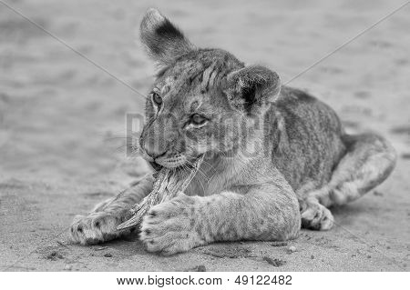 Cute Lion Cub Playing On Sand In The Kalahari Artistic Conversion