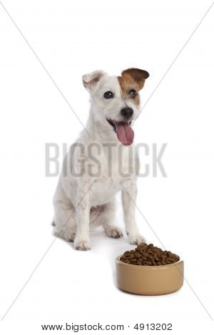 Jack Russell Terrier Waiting For Food