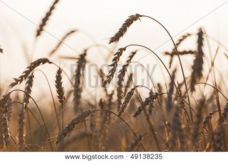 Gold ripe wheat or rye agriculture field plant