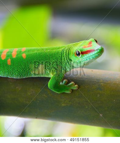 Green gecko on the bamboo