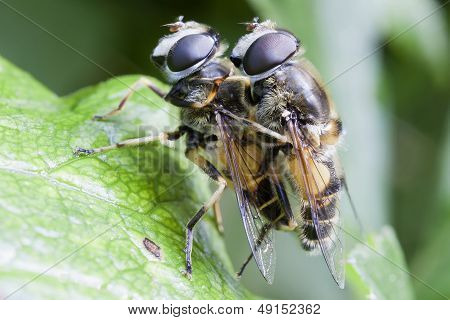 Hoverfly - mating