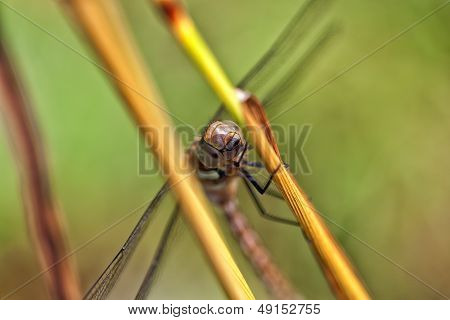 Autumn Hawker - macro shot