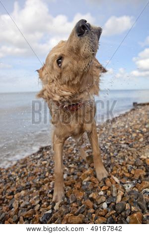 Side view of mixed breed dog shaking off water on pebble beach in Herne Bay; Kent