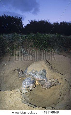 Leatherback Turtle nesting on beach