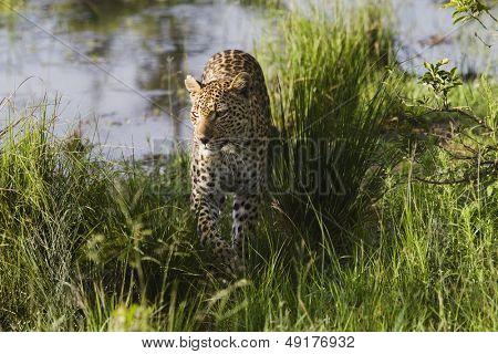 Leopard (Panthera pardus) walking in grass