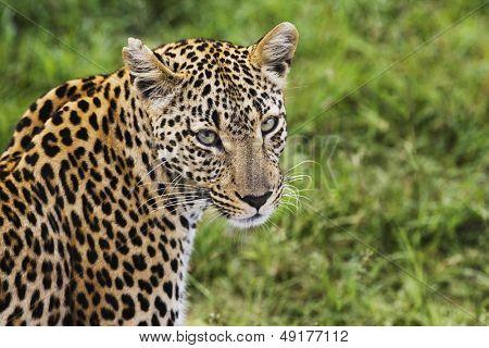 Primer plano de leopardo (Panthera pardus) mirando a cámara