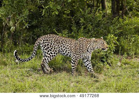 Vista lateral de leopardo (Panthera pardus)