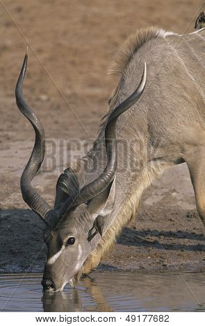 Antelope drinking from pond