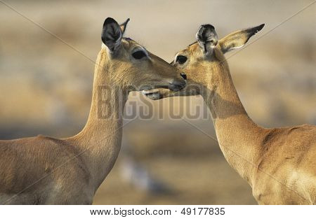 Two Deer face to face outdoors