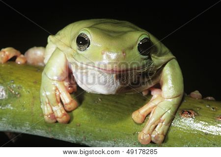 Green tree frog on branch close-up