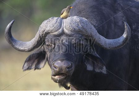 Cape Buffalo (Syncerus Caffer) with bird on head close-up