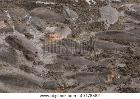 Large herd of hippopotami (Hippopotamus amphibius) wallowing in mud