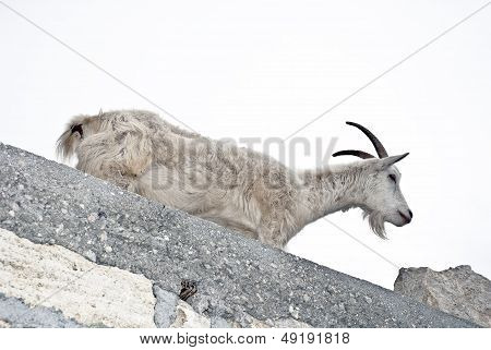 White Goat On A Wall