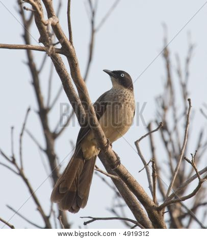 Blackcap Babbler In The Gambia