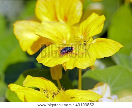 Fly on yellow flower, one summer  France Europe