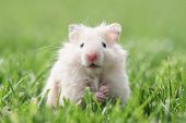 image of hamster  - white hamster on lawn closeup - JPG