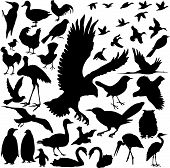 picture of mockingbird  - 39 pieces of detailed vectoral bird species silhouettes - JPG
