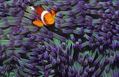 stock photo of clown fish  - Clown fish hiding among sea anenomies - JPG