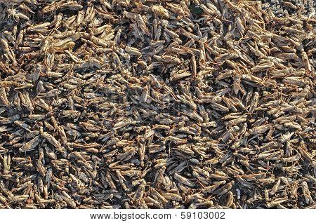 Dead Locusts