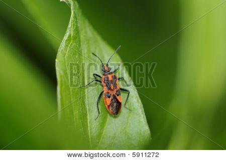 Blood Bug, Corizus Hyoscyami