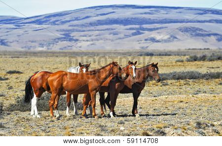 The herd of wild mustangs. Patagonian pampas on a summer day