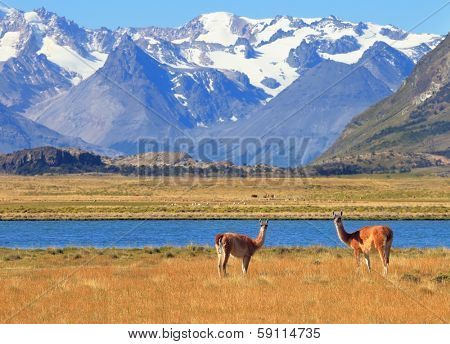 Patagonia. Harmonious landscape - yellow field, blue lake and snow-capped mountains. In the foreground are grazing guanaco