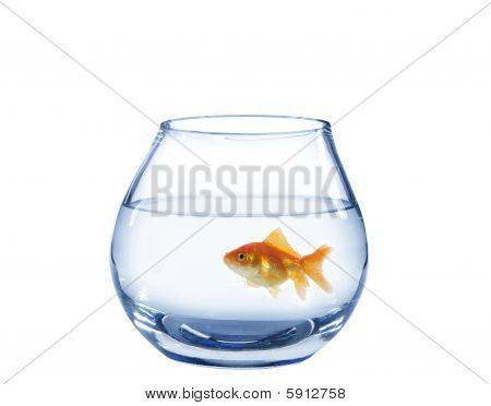 Gold Fish In Glass Aquarium