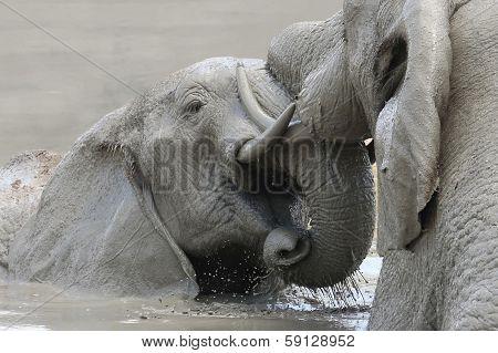 Elephant Mud Fight