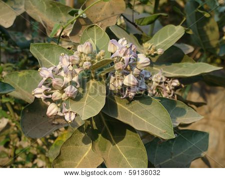 Milkweed plant's flowers used for decorating Lord Ganesha