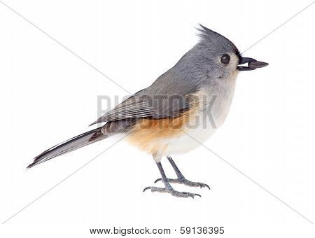 Titmouse, Baeolophus, Bicolor, Isolated