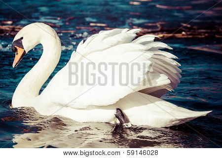 Swans On The Lake With Blue Water Background