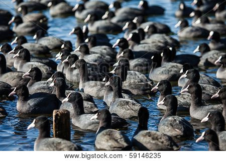 Flock Of Coots ( Fulica Atra ) On Frozen Lake