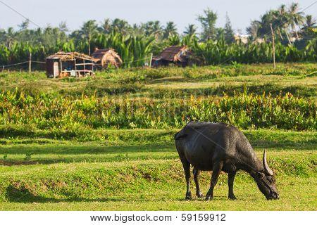 Buffallo feeding in the field