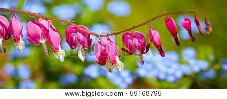 Bleeding Heart flower (Dicentra spectabilis) in the spring garden.
