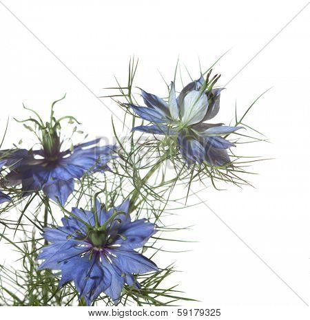 Nigella damascena flowers  isolated on white