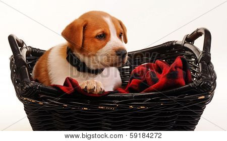 Red Heeler Puppy.