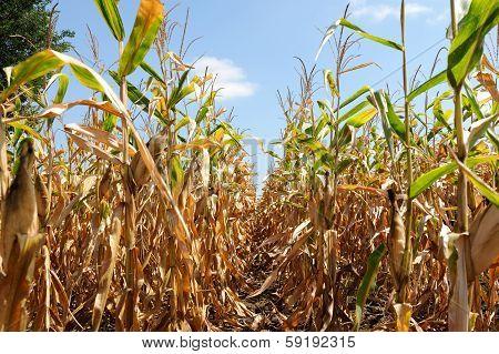 Ripe Corn Plant With Corncob