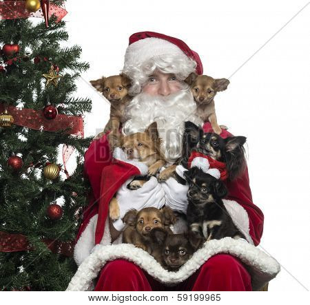 Close-up of Santa Claus holding group of Chihuahuas, isolated on white