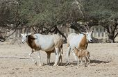 stock photo of biblical  - Sahara antelope at the National Biblical Hai - JPG