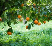 image of tangerine-tree  - orange trees with fruits on plantation Close up - JPG