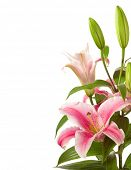 a fragment of pink lilies  bunch isolated on a white background