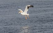 American white pelican, pelecanus erythrorhynchos in flight