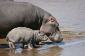 picture of baby animal  - Mother Hippo with her baby in the Mara River - JPG
