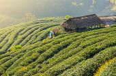 stock photo of darjeeling  - tea plantation landscape and hut in sunrise - JPG