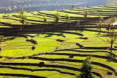 Green Field Of Rice In Nepal