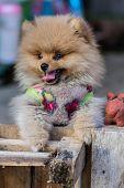 stock photo of pomeranian  - Pomeranian Garb  - JPG