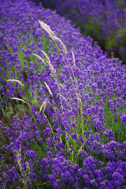 image of lavender field  - lavender growing in the countryside on a farm - JPG